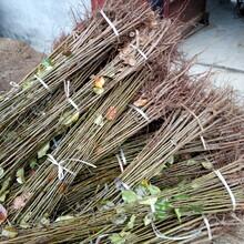 湖南长沙秋月梨树苗种植基地2公分梨树苗价格图片