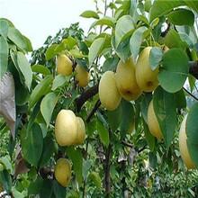 江西赣州1公分梨树苗几月份出售红香酥梨树苗适合哪里种植图片