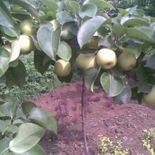 黑龙江绥化品种梨树苗价格多少红香酥梨树苗适合哪里种植图片