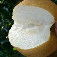 甘肃陇南市红香酥梨树苗哪里好嫁接梨树苗品种基地图片