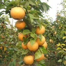湖南郴州新梨7号梨树苗哪里便宜新梨7号梨树苗多少钱一棵图片