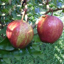 甘肃武威丑梨树苗价格多少玉美人梨树苗哪里有图片