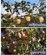 甘肃天水秋月梨树苗种植基地爱宕梨树苗种植基地图片