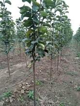湖北鄂州中梨4号梨树苗批发新品种梨树苗什么时候种植图片