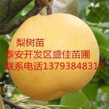 湖南娄底丑梨树苗适合哪里种植嫁接梨树苗供应报价图片