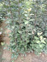 贵州贵阳优质梨树苗市场价格梨树苗哪里便宜图片
