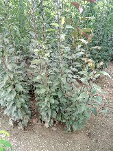 山西大同早红考密斯梨树苗供应报价柱状梨树苗哪里有图片