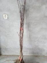 辽宁沈阳优质梨树苗附近哪里有卖新梨7号梨树苗多少钱一棵图片