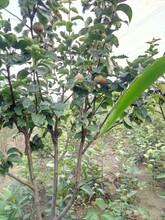 辽宁葫芦岛柱状梨树苗零售价格一公分梨树苗哪里多图片