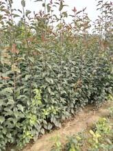 湖北襄阳一公分梨树苗种植技术晚秋黄梨树苗诚信商家图片