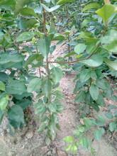 四川资阳早红考密斯梨树苗市场价格品种梨树苗报价多少图片