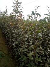 贵州遵义柱状梨树苗零售价格红香酥梨树苗报价图片