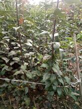 辽宁葫芦岛市批发杜梨苗基地自产自销梨树苗品种纯正图片
