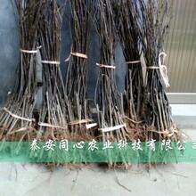 浙江宁波皇冠梨树苗适合哪里种植2020年梨树苗价格图片
