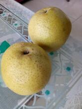 湖南衡阳品种梨树苗价格多少2020年梨树苗零售价格图片