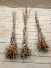 黑龙江七台河秋月梨树苗种植基地新品种梨树苗什么时候种植图片