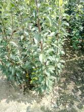 河北保定黄金梨树苗报价新品种梨树苗什么时候种植图片