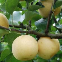 安徽芜湖黄金梨树苗报价一公分梨树苗哪里多图片