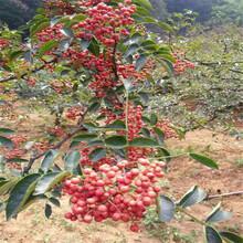 江蘇獅子頭花椒苗每日價格、產量高圖片
