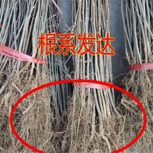 四川0.3公分花椒苗哪里有賣放心苗圖片