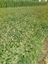 河南0.5公分花椒苗規格品種純圖片