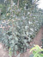 吉林梨树苗适合种植地区品种纯图片