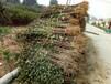 江苏花椒苗货比三家花椒苗1年苗价格种植技术