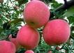 湖南短枝富士苹果树苗现挖现卖