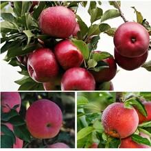 甘肃柱状苹果树苗产量高图片