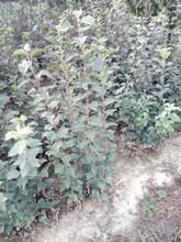 河北红肉苹果树苗种植资料图片