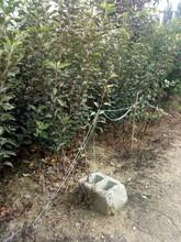 黑龙江红富士苹果树苗注意事项图片