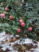 山西1公分苹果苗行情价格图片