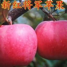 河南1米苹果苗产量高图片