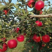 甘肃鲁丽苹果苗品种纯图片