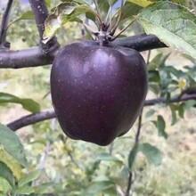贵州苹果苗种子批发现挖现卖图片