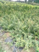 江西泰山红石榴苗产量高图片