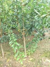 山东泰山红石榴苗适合种植图片