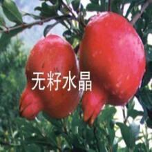 四川软籽石榴苗成活率高图片
