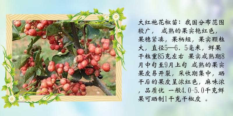 果树苗品种纯正大红袍花椒苗批发真实价格
