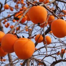 果树苗基地牛心柿柿子苗高产嫁接品种图片