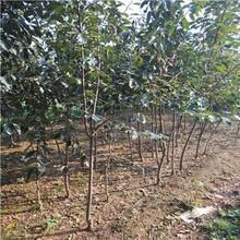 丰产稳产脆甜柿子树2020年价格技术要点图片