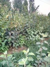 品种纯正大秋柿子苗基地优质推荐图片