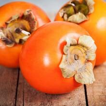 现挖现卖次郞柿子苗柿子树苗效益嫁接品种图片