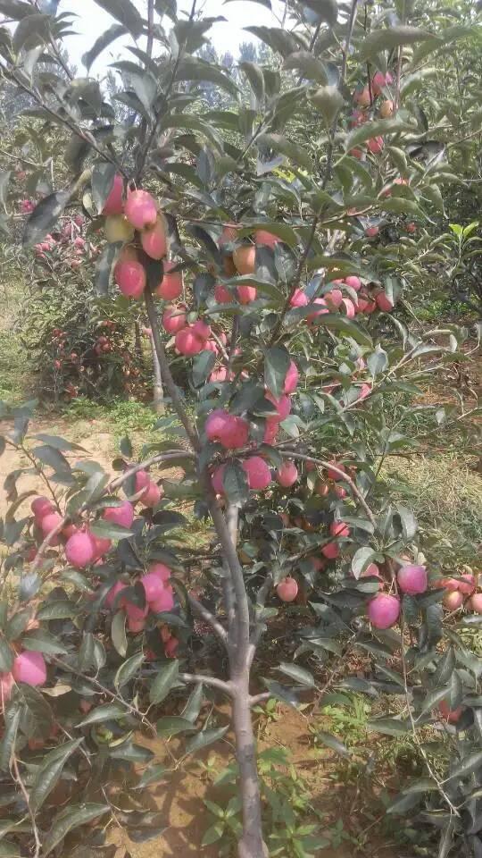 值的信赖3公分红富士苹果树苗 江苏