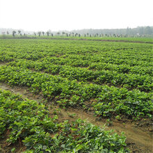 平顶山草莓苗—繁育基地图片