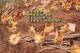 全国土鸡苗供应,土鸡养殖技术