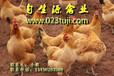 四川土鸡苗,四川土鸡养殖土鸡养殖技术