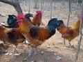 重庆酉阳自生源土鸡图片土鸡该怎样带鸡消毒图片
