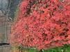 山東紅冠紅楓供貨商