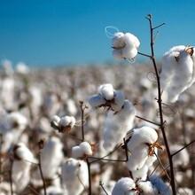 青海优质在生棉花信誉保证棉花 图片
